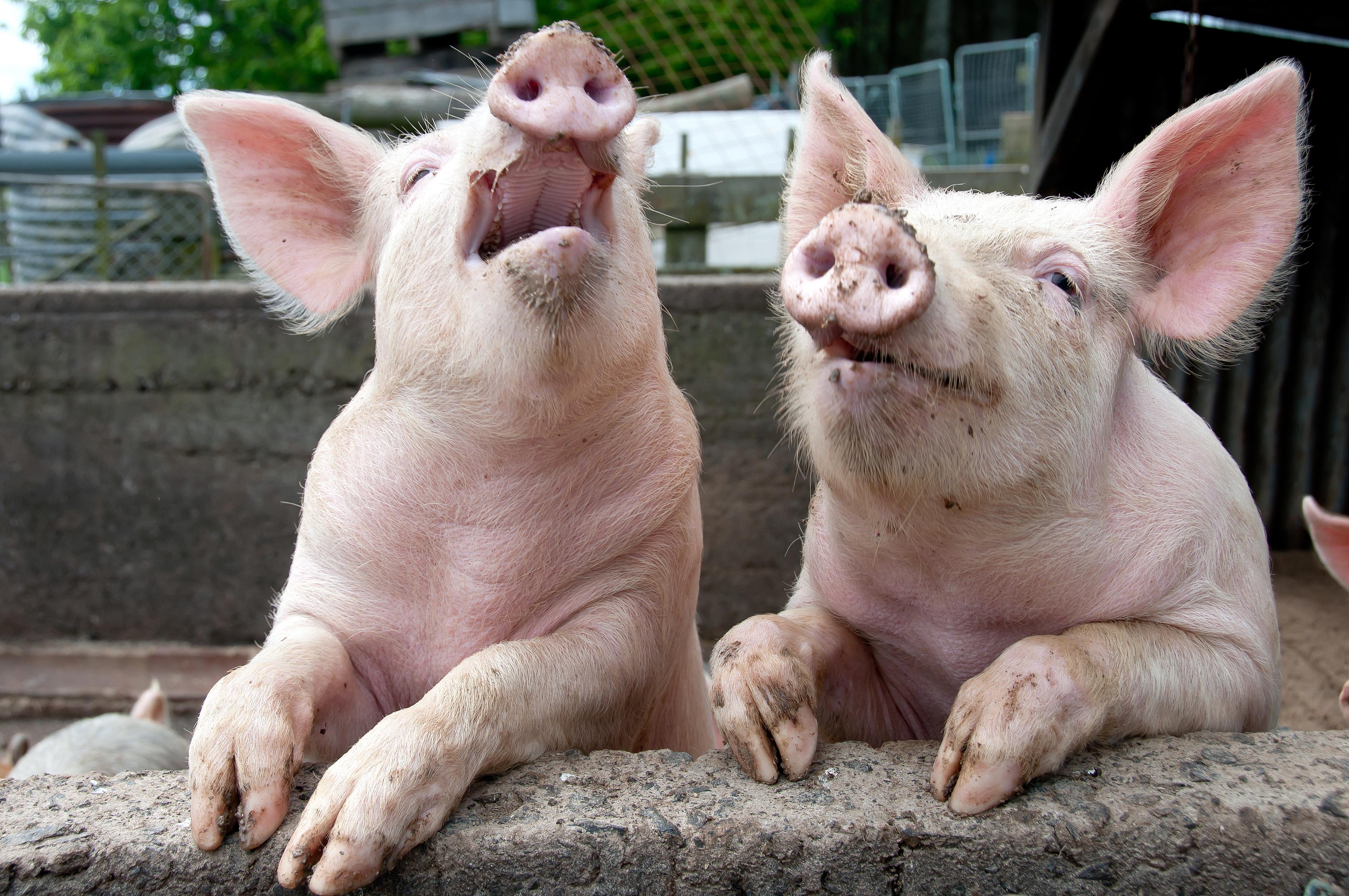 les leveurs veulent faire de la crise du porc un sujet europ en. Black Bedroom Furniture Sets. Home Design Ideas